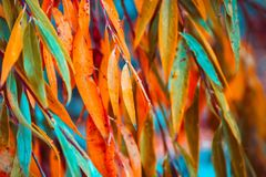 Autumn colorful leaves of willow tree. Abstract nature background royalty free stock images
