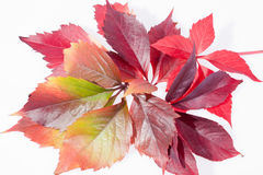 Autumn colorful leveas of parthenocissus on white background Royalty Free Stock Images