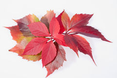 Autumn colorful leveas of parthenocissus on white background Royalty Free Stock Photos