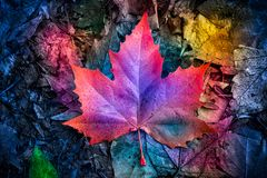 Autumn colorful maple leaf on the ground. Abstract view of colorful maple leaf on the leaves covered ground royalty free stock image