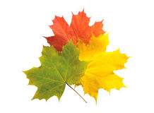 Autumn colorful maple leaves isolated Stock Photo