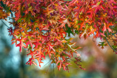 Autumn colorful oak Royalty Free Stock Image