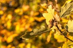 Autumn Colorful Oak Leaves alla bella luce Anche la luce di autunno Autunno nel legno immagine stock libera da diritti