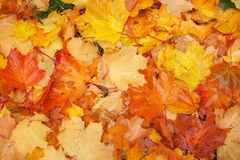 Autumn colorful orange, red and yellow maple leaves Stock Photo