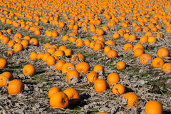 Autumn colorful pumpkin field Royalty Free Stock Photos