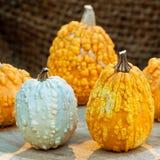 Autumn colorful pumpkins. Stock Photos