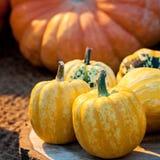 Autumn colorful pumpkins. Royalty Free Stock Photos
