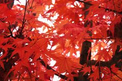 Autumn colorful red maple leaf of Japanese garden from under the maple tree Royalty Free Stock Photography
