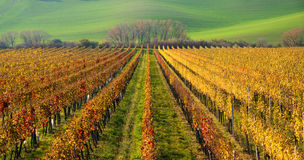 Autumn Colorful Rows Of Grape Vines. Autumn Landscape With Colorful Grape Vineyards Of Czech Republic. Abstract Background Of Autu Stock Images