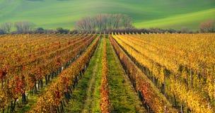 Autumn Colorful Rows Of Grape vinrankor Autumn Landscape With Colorful Grape vingårdar av Tjeckien Abstrakt bakgrund av Autu Arkivbilder