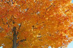Autumn colorful tree. Beautiful colorful autumn tree with golden colors Stock Image