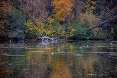 Autumn colorful trees. Birds in the water, fall colors Stock Photos
