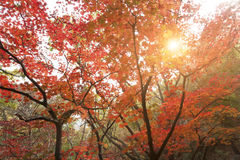 Autumn colorful trees before winter in the park of South Korea. Stock Photo