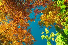 Autumn colorful treetops in fall forest. Sky and clouds through the autumn tree branches from below. Foliage background. Copy. Space stock photos