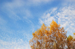Autumn colors. Yellow leafs of Birch on sky background during sunset Royalty Free Stock Photos