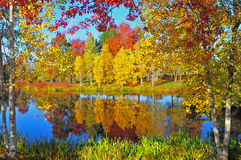 Autumn colors. Bright autumn colors reflecting in the nearby pond framed  between birch trees Royalty Free Stock Images