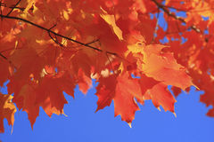 Autumn Colors. A branch of a tree with red orange leaves Stock Image