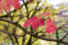 Autumn colors. Autumn red colored leaves in garden stock photo