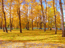 Autumn colors. Yellow fall leaves blanketing the ground of an urban forest Stock Photography