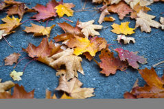 Autumn colors. On maple leaves Royalty Free Stock Image