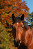 Autumn colors. Horse blends with nature in autumn colors Stock Images
