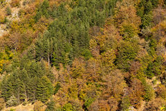 Autumn colors. Looking to the already colored autumn colors forest and green pines Royalty Free Stock Photo