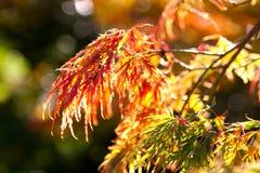 Autumn colors. Autumn maple leaves in sunlight Stock Photo