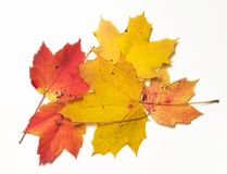 Autumn colors. Red and yellow leaf on white background Royalty Free Stock Photography