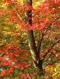 Autumn Colors. Leaves changing colours in the autumn/fall Stock Photo