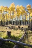 Autumn Colors in Aspen Forest Stockfoto