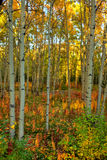 Autumn colors in aspen forest in the Yukon Stock Image