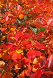 Autumn colors. Beautiful red bush in autumn Royalty Free Stock Photography