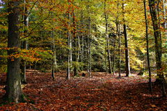Autumn colors beech forest Royalty Free Stock Photos