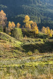 Autumn colors and birches. Bright fall colors in the woods in Tirol Austria Stock Photo