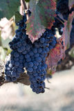 Autumn colors blue grapes Royalty Free Stock Photography