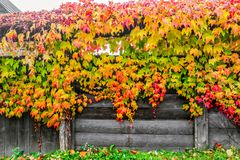 Colorful climbing plant Royalty Free Stock Images