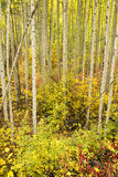 Autumn Colors in a Colorado Fores. An autumn forest floor in the Rocky Mountains of Colorado Stock Images