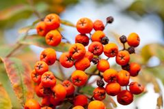 Autumn colors concept. Bright colorful mountain ash rowan berries. Soft focus blurred background photography. Autumn colors concept. Bright mountain ash rowan royalty free stock photos