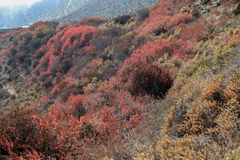Autumn colors contrast himalayan snow peaks Royalty Free Stock Image