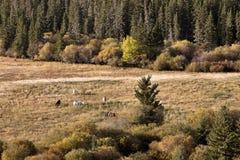 Autumn Colors Cypress Hills Canada Imagen de archivo libre de regalías