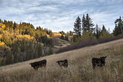 Autumn Colors Cypress Hills Canada Royaltyfri Fotografi