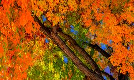 Autumn colors, fall fines burnish oranges and yellow in full bloom royalty free stock image