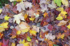 Autumn colors - fall leaves in the Adirondacks, New York Royalty Free Stock Photo