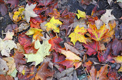 Autumn colors - fall leaves in the Adirondacks, New York Royalty Free Stock Images