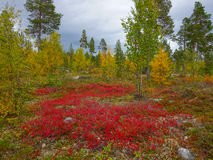 Autumn colors in the finnish taiga Stock Photos