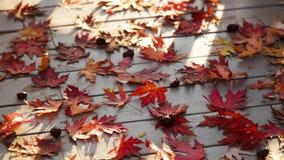 Autumn Colors Foglie di acero rosse su fondo di legno grigio video d archivio