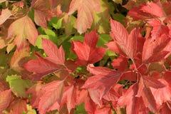 Autumn Colors Foglie rosse del viburno Fotografia Stock Libera da Diritti