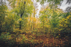 Autumn colors in the forest. With autumn leaves changing colors from green to yellow in the fall Stock Image