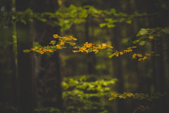 Autumn colors in the forest. Orange leaves in the autumnal forest Royalty Free Stock Photography
