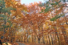 Autumn colors in the forest Royalty Free Stock Photos